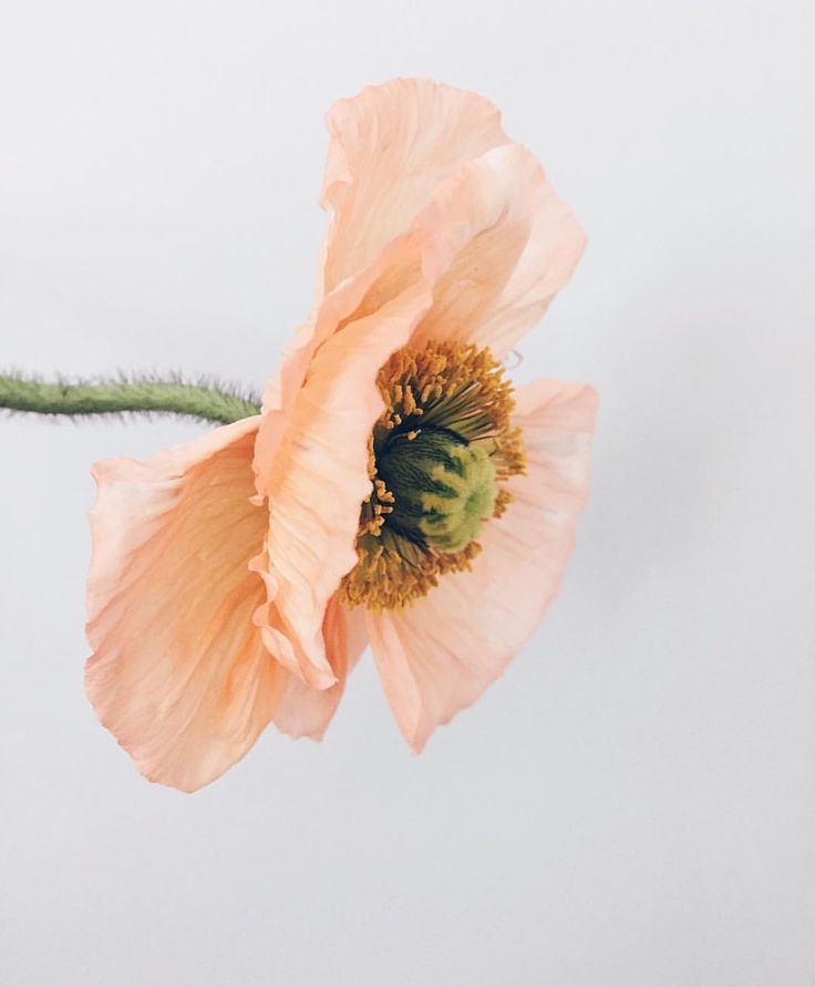 Blossom, flower, poppy, peach simple, photography