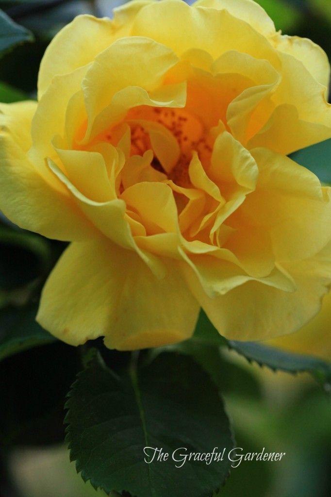 climbing rose golden gate kordes photography flowers and trees pinterest gardens. Black Bedroom Furniture Sets. Home Design Ideas