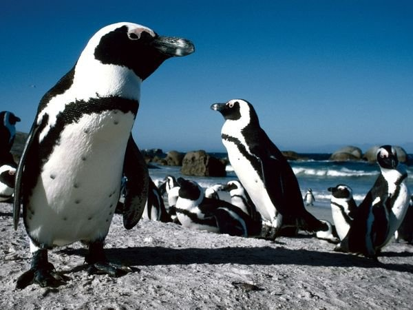 Penguins In Cape Town!