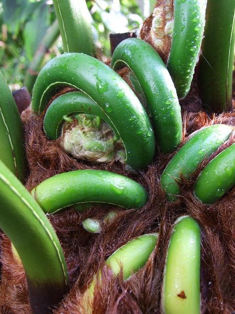 Tree fern unfurling