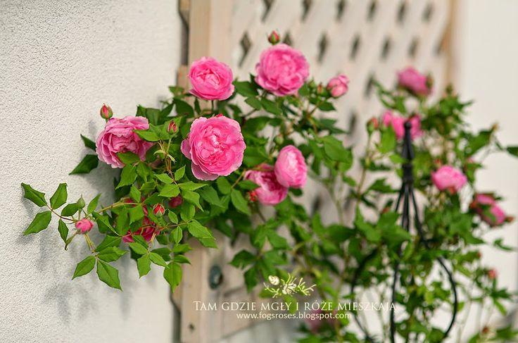 Tam gdzie mgły i róże mieszkają...: CzerwiecLa Reine Victoria