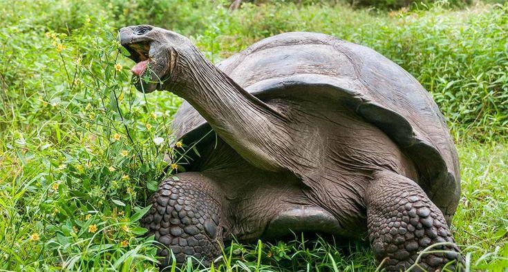 Tortuga gigante en Galápagos