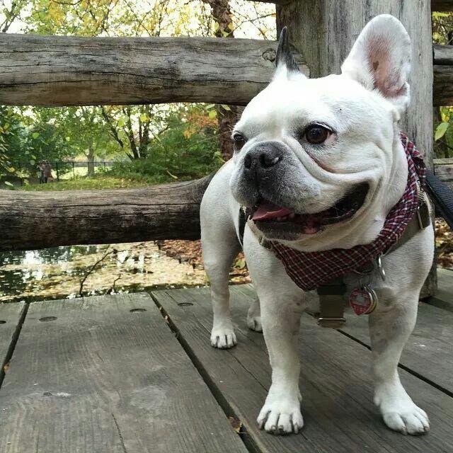 French Bulldog: