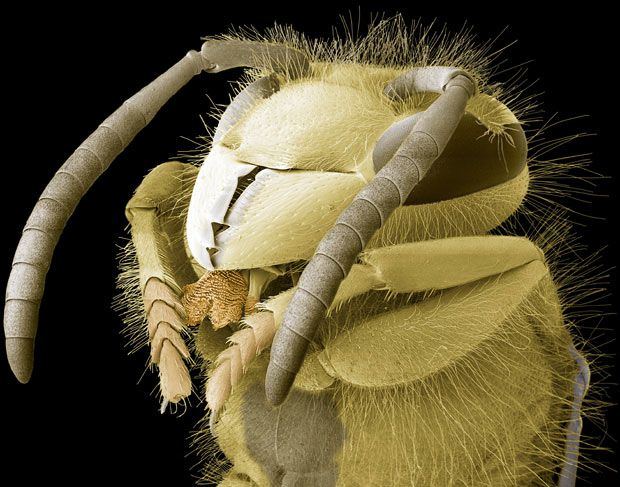 A coloured scanning electron micrograph of a common wasp (Vespula vulgaris) head  Picture: STEVE GSCHMEISSNER / SCIENCE PHOTO LIBRARY/ BARCROFT MEDIA