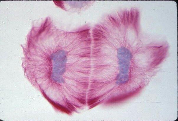 Митоз лилии