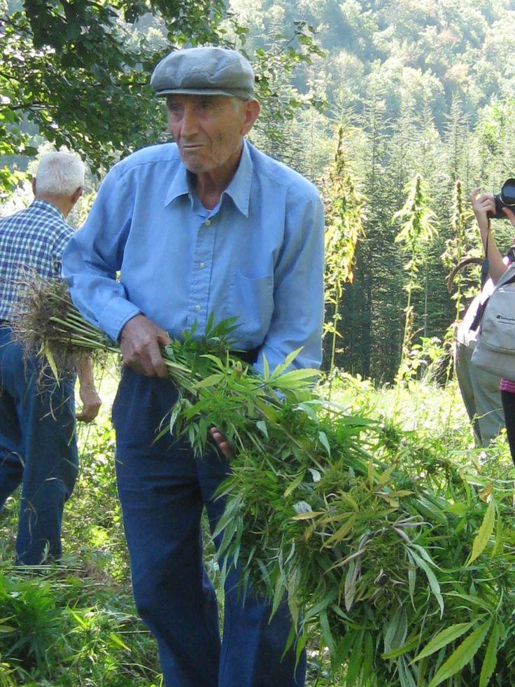 Canapa - in Abruzzo si può coltivare ma non fumare #ciboprossimo