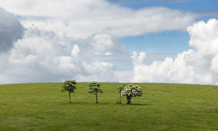 Три цветущих дерева у дороги на Краснолесье.