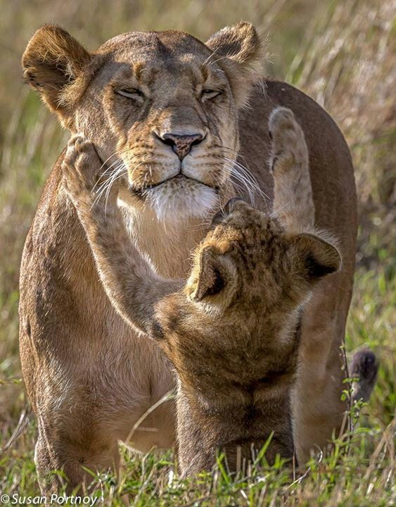 relationship between lion and cub