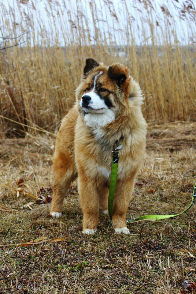 Bernese mountain dog/Chow Chow mix. She's just too adorable!