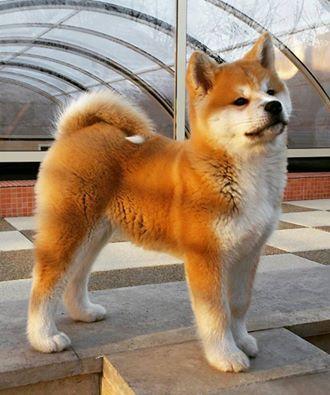 Japanese Akita Inu ~ El mejor perro que he tenido!
