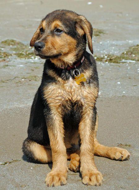 Bernese mountain dog german shepherd mix - photo#4