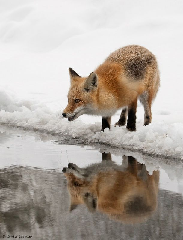 Red Fox by Denise Ippolito                                                                                                                                                                                 More