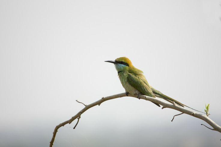 Green Bee Eater by Tirtha Banerjee