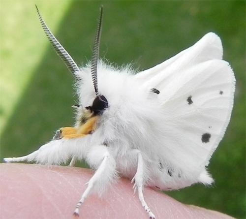 #FLUFFY #moth: Angel Wings, Butterflies, Moth Spilosoma, Spilosoma Virginica, Tigers Moth, Poodle Moth, Natural, Virginia Tigers, Animal