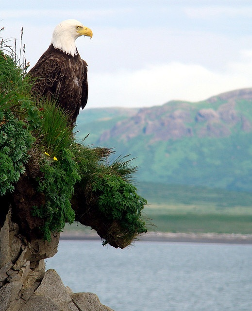 Eagle on Sea Cliff by Buzz Hoffman, via Flickr