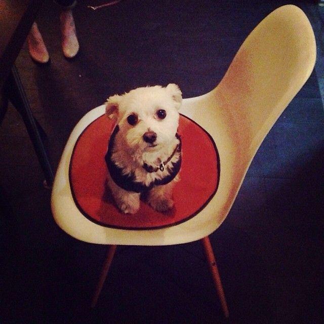 イームズにお座りになるユニオンジャックがお似合いの常連犬マルコ@zassi cafe #カフェ #西早稲田 #高田馬場 #マルチーズ #イームズ