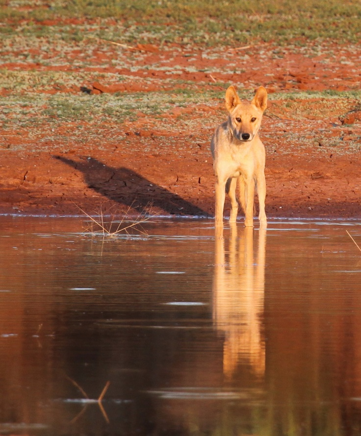 Dingo at a waterhole in the Red centre of Australia