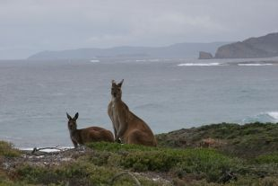 Kangaroos on the south coast of Australia