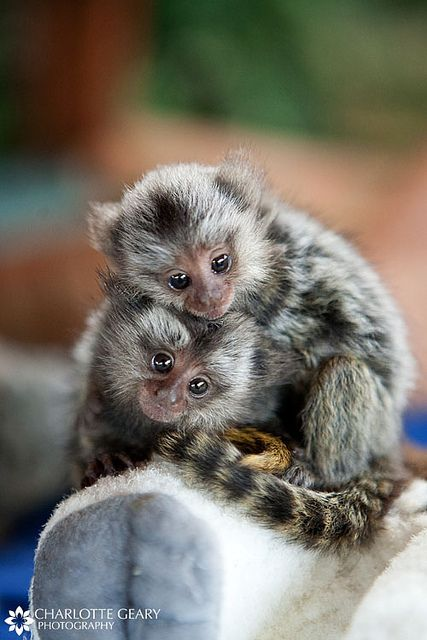 Baby marmoset monkeys.