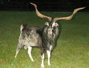 spanish goat | Sheep and Goat breeds | Goats, Kiko goats ...