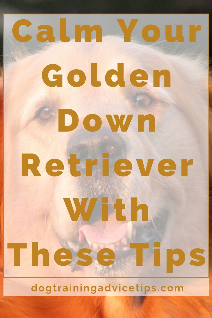 Calm down your golden retriever with these tips dog