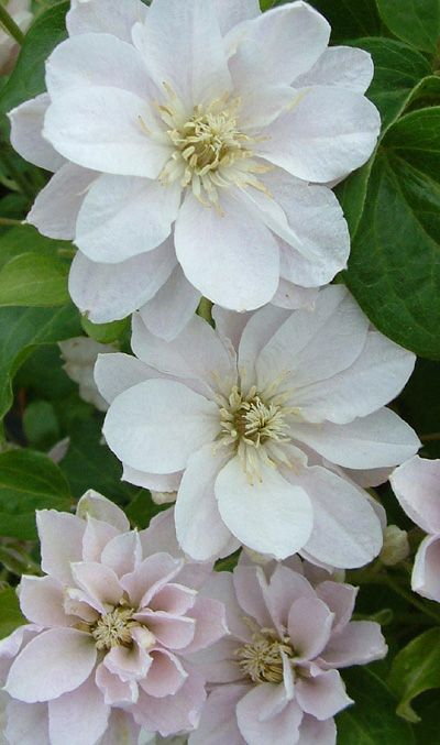 Clematis Dancing® Queen ('Zodaque') Oh, so lovely! Must go on the same trellis with a bluey-purple one.