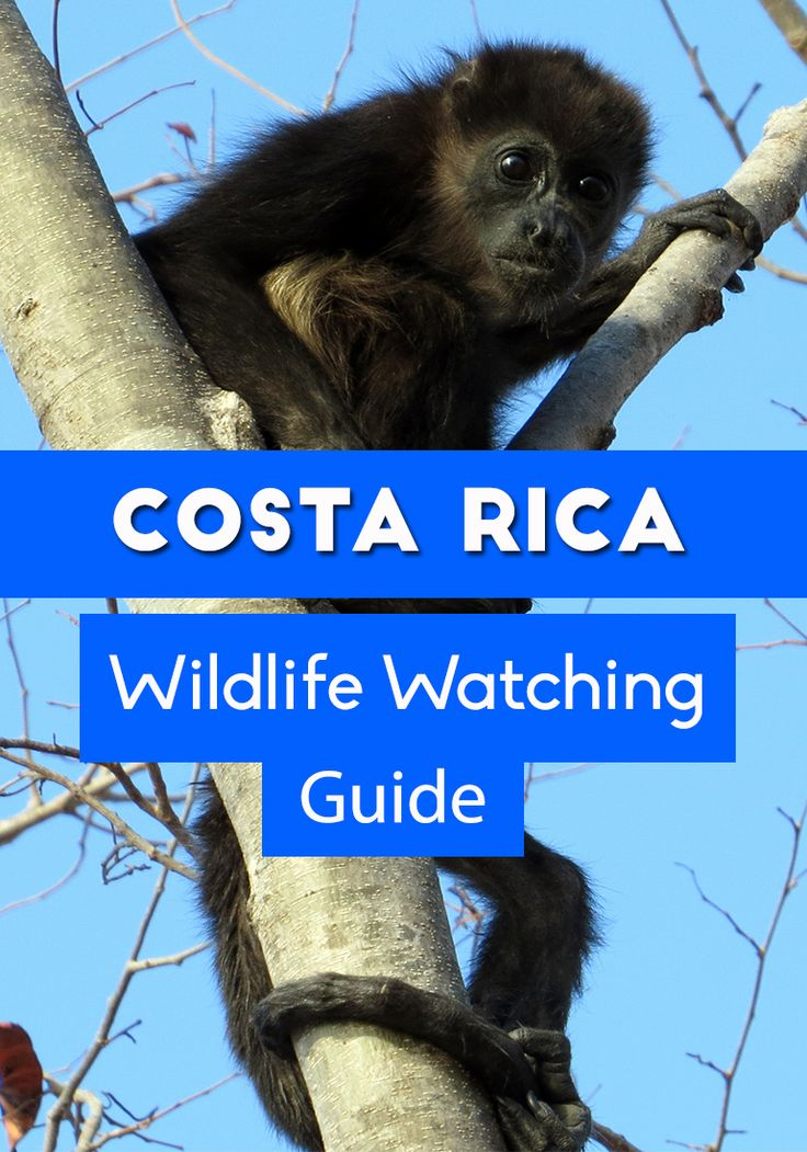 The complete guide to wildlife watching in Costa Rica - when and where to see toucans, monkeys, sloths and more!