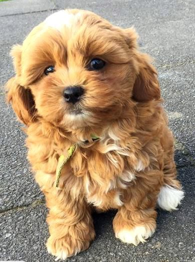Shihpoo puppy - Shih Tzu x Toy Poodle - Gorgeous!