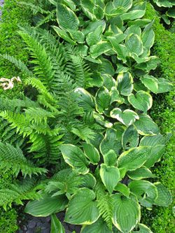 Hostas and Ferns- both shade loving plants and are great for a shade garden. They look nice together because the textures are so different from each other. Also consider adding to the mix, Liriope and Lamium.