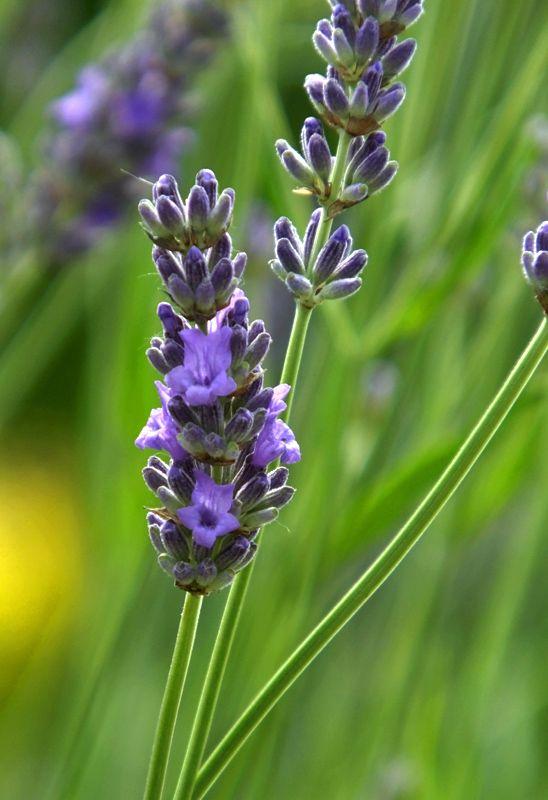 #English #Lavender #blue #flower close