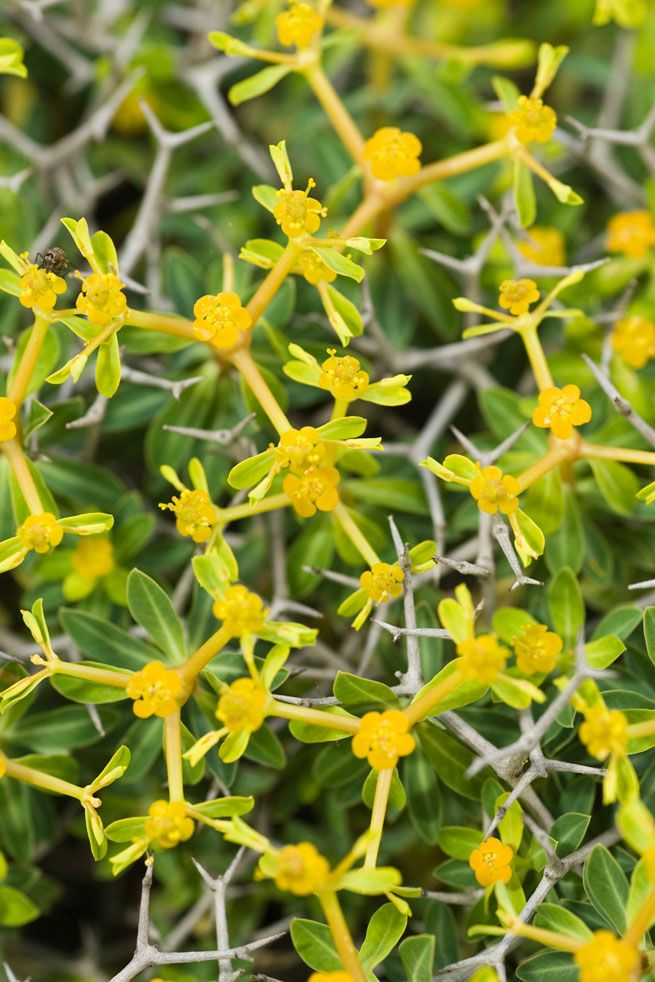 Greek spiny spurge