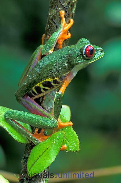 Esta es la rana arbórea de ojos rojos que se encuentra en el Parque Nacional Cahuita , Costa Rica . Es un animal único.