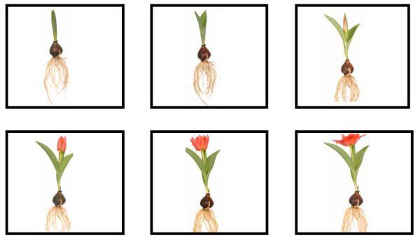 tulp sorteerwerkje