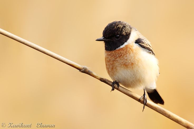 Siberian stonechat  Photographed this image at Kanha National Park  More images at -> http://www.ephotobuy.com/