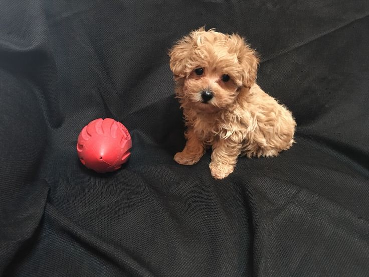 Designer and mix puppies, morkies, maltipoos, red