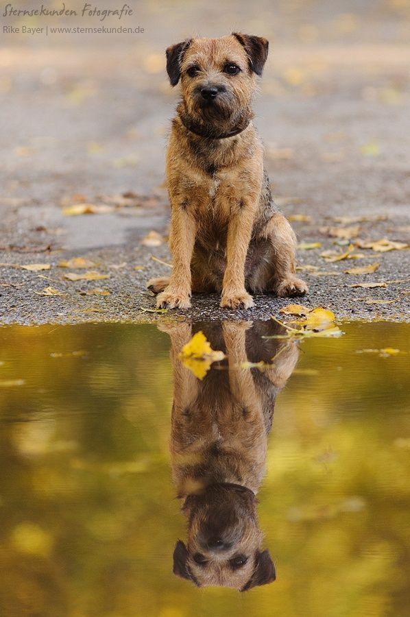 Border Terrier In 2020 Border Terrier Terrier Terrier Dogs