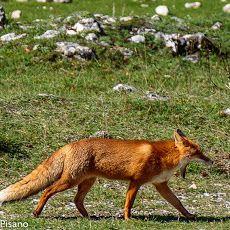 Fox at Abruzzo's national park
