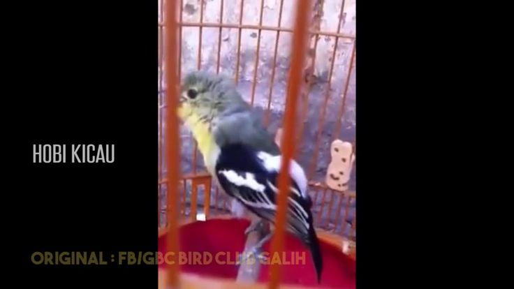 SIRTU GACOR NGOTOT - POMPA TERUS / CIPOH / SIRPU