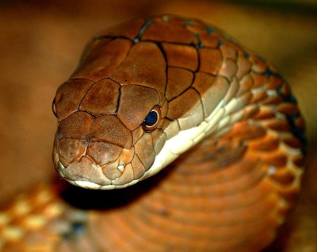 Lovely King Cobra (Ophiophagus hannah)