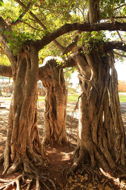 Lahaina Banyon Tree - Lahaina, Hawaii www.facebook.com/loveswish