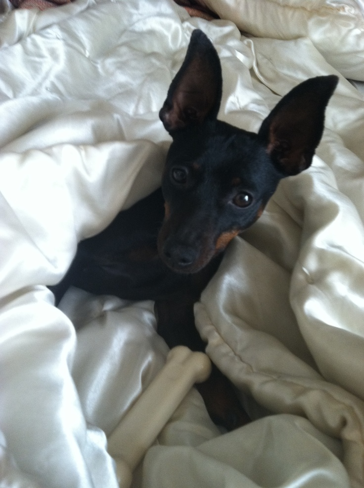 Maybe we should get a min pin. It would be like having a dobe puppy for ever!
