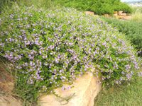 PURPLE FUSION™ is a Scaevola groundcover and unlike other Scaevola forms, Purple Fusion grows much flatter and is more drought tolerant