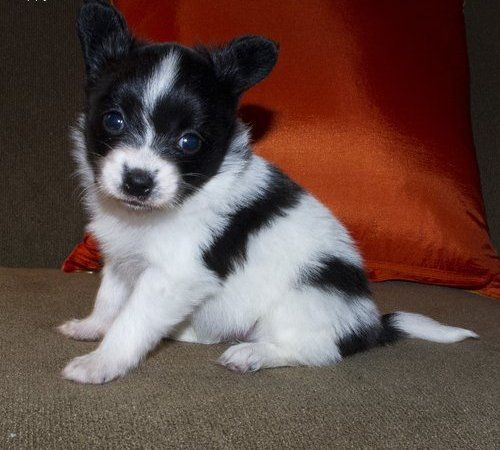 Papillon Puppies For Free Adoption Spunky And Beautiful Papillon
