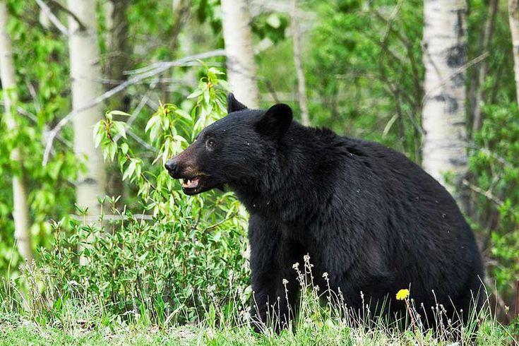 De Amerikaanse zwarte beer is een stuk kleiner dan zijn bruine broer. Deze soort wordt vaak in de bossen gezien. En in de buurt van mensen, zoals campings, buitenwijken en vuilnisplaatsen. Dit is de enige soort ter wereld die in aantallen groeit. De reden; hij past zich aan de mens aan.