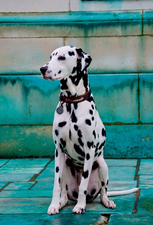 The Dalmatian  is a breed of large dog,[3]noted for its unique black or liver spotted coat and mainly used as acarriage dog in its early days. Its roots trace back to Croatia and its historical region of Dalmatia.[4][5] Today, it is a popular family pet, and many dog enthusiasts enter Dalmatians into kennel club competitions.