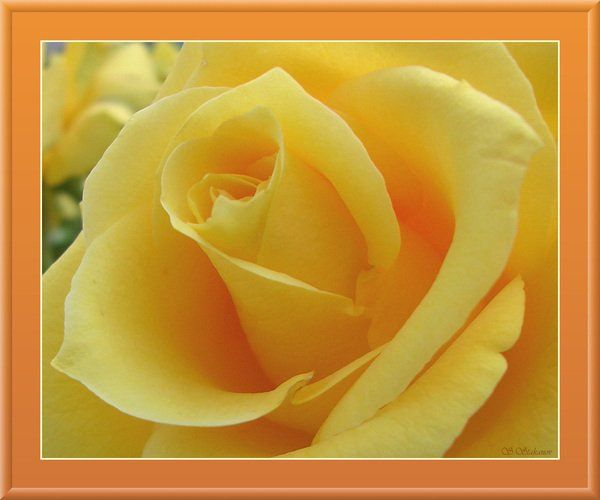 Poetry From The Starlite Cafe: Rose petals