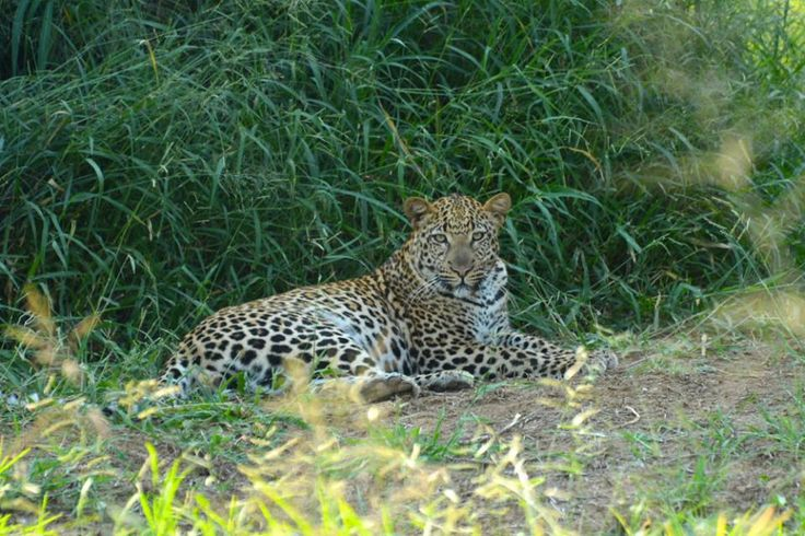 Spotted by our volunteers at our Limpopo hub! What a beautiful leopard!