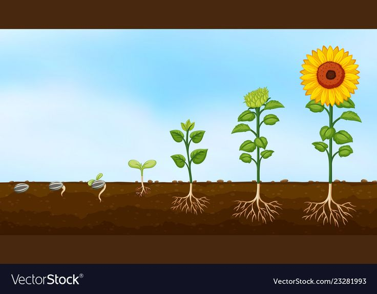 Diagram of plant growth stages vector image on VectorStock ...