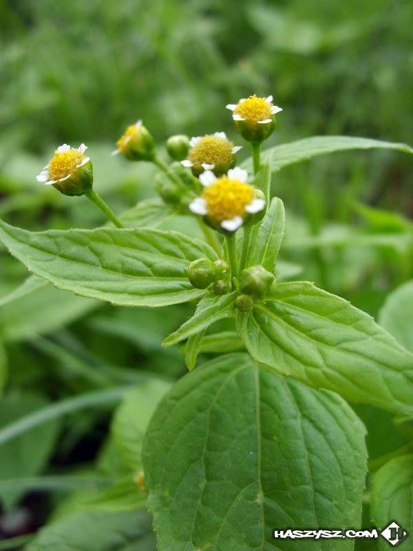 Forum Haszysz Com Dyskusje O Uprawie Konopi Plants Herbs