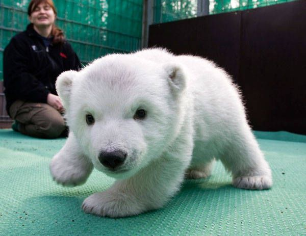 baby polar bear, could you be any cuter?